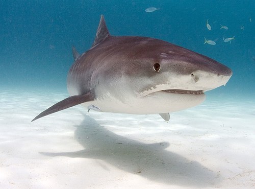 Scuba Diving Tiger Shark