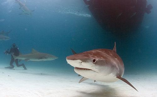 Scuba Diving Tiger Shark