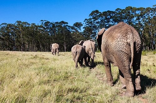 Knysna_Elephants
